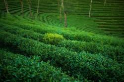 Gyokuro Green Tea Narien